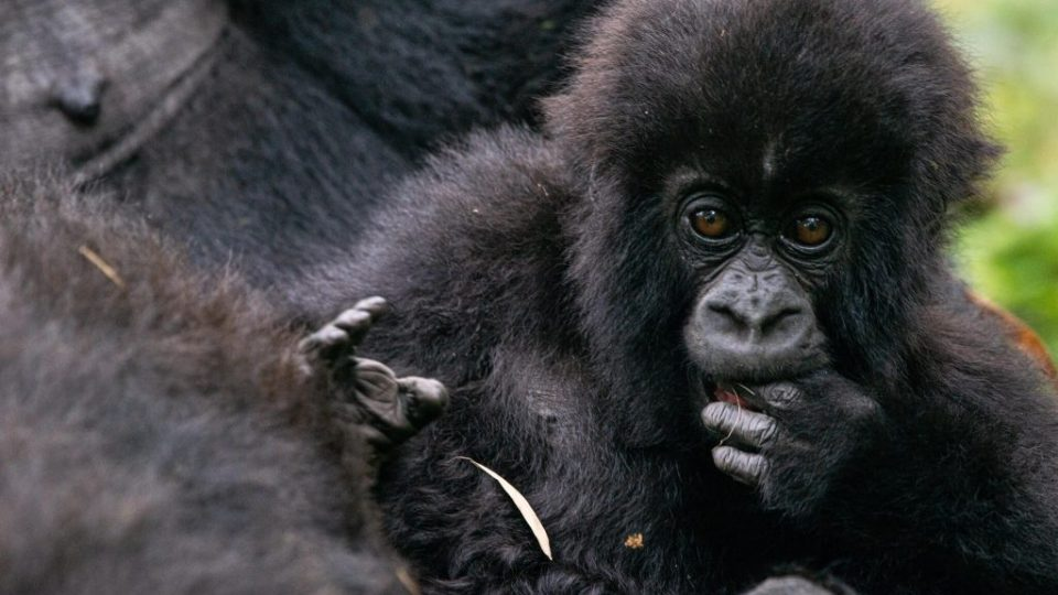 One of the baby mountain gorillas who was given the name 'Amabwiriza' meaning 'Guidelines' by one of the Volcanoes National Park staff